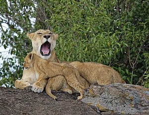 African Lion (Panthera leo) mother yawning with cubs, Masai Mara, Kenya  -  Winfried Wisniewski