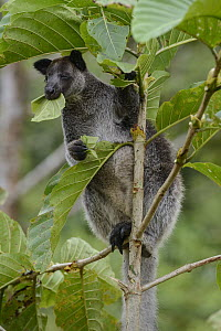 Dusky Tree-kangaroo (Dendrolagus inustus) feeding on leaves, Papua, Indonesia  -  Ch'ien Lee