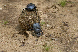 Dung Beetle (Scarabaeus sp) pair rolling dung, Bundala National Park, Sri Lank  -  Ch'ien Lee