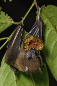 Lesser Naked-backed Fruit Bat (Dobsonia minor) feeding on fruit, Nimbokrang, Papua, Indonesia  -  Ch'ien Lee