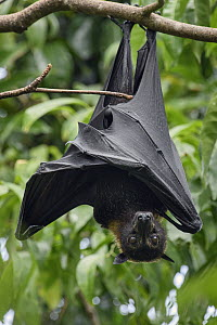 Spectacled Flying Fox (Pteropus conspicillatus) roosting, Waigeo, Papua, Indonesia  -  Ch'ien Lee
