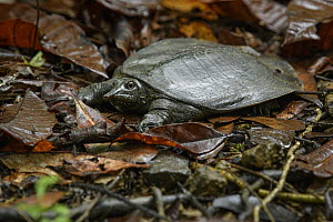 Black-rayed Soft-shelled Turtle (Amyda cartilaginea), Sepilok Forest Reserve, Sabah, Borneo, Malaysia  -  Ch'ien Lee
