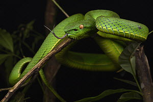 Vogel's Pit Viper (Trimeresurus vogeli) flicking tongue, Bach Ma National Park, Vietnam  -  Ch'ien Lee