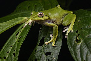Penan Flying Frog (Leptomantis penanorum) female, the species lives on only a single mountain, Mount Mulu, new species described in 2008, Sarawak, Borneo, Malaysia  -  Ch'ien Lee