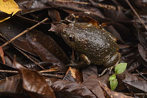 Smooth-fingered Narrow-mouthed Frog (Kaloula baleata) male, Mulu National Park, Sarawak, Borneo, Malaysia  -  Ch'ien Lee