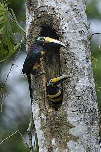 Many-banded Aracari (Pteroglossus pluricinctus) pair at roost cavity, Yasuni National Park, Ecuador  -  Ch'ien Lee