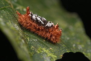 Moth (Prothysana sp) caterpillar, mimicking being infected by parasatoid wasps, Yasuni National Park, Ecuador  -  Ch'ien Lee