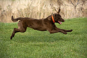 Chesapeake Bay Retriever (Canis familiaris) running, North America  -  Mark Raycroft