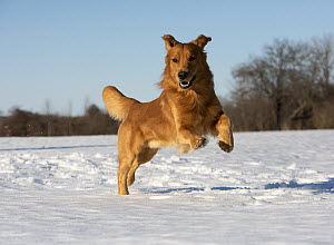 Golden Retriever (Canis familiaris) running in winter, North America  -  Mark Raycroft