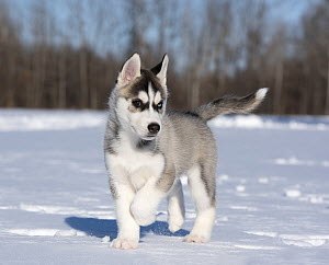 Siberian Husky (Canis familiaris) puppy running in winter, North America  -  Mark Raycroft