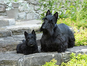 Scottish Terrier (Canis familiaris) and puppy, North America  -  Mark Raycroft