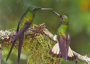 Empress Brilliant (Heliodoxa imperatrix) and Buff-tailed Coronet (Boissonneaua flavescens) hummingbirds fighting, Andes, Ecuador  -  Martin Willis