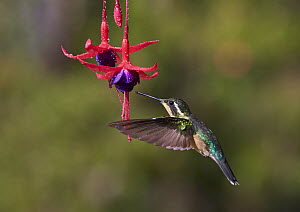 Variable Mountain-gem (Lampornis castaneoventris) feeding on flower nectar, Costa Rica  -  Martin Willis