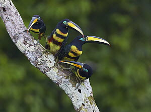 Many-banded Aracari (Pteroglossus pluricinctus) group, Amazon, Ecuador  -  Martin Willis