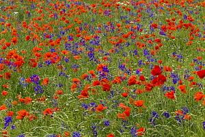 Field Larkspur (Consolida regalis) and Red Poppy (Papaver rhoeas) flowers, Hessen, Germany  -  Duncan Usher