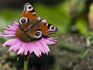 Peacock Butterfly (Inachis io) on flower, Hessen, Germany  -  Duncan Usher