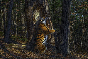 Siberian Tiger (Panthera tigris altaica) scent-marking tree, photo is titled The Embrace, and won the 2020 wildlife photographer of the year competition, Russia  -  Sergey Gorshkov