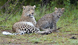 Leopard (Panthera pardus) mother and cub, Masai Mara, Kenya  -  Winfried Wisniewski