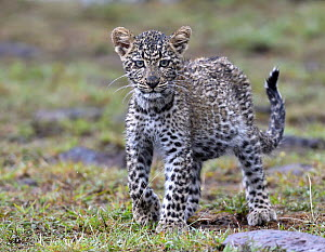 Leopard (Panthera pardus) cub wet after rainfall, Masai Mara, Kenya  -  Winfried Wisniewski