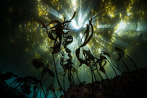 Giant Kelp (Macrocystis pyrifera) forest, new growth, Monterey Bay, California  -  Ralph Pace