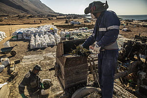 Workers process dried kelp at a regional processing plant near Taltal, Chile  -  Ralph Pace