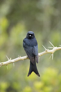 Fork-tailed Drongo (Dicrurus adsimilis), Garden Route National Park, South Africa  -  Richard Du Toit