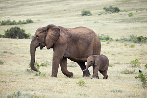 African Elephant (Loxodonta africana) tuskless mother and calf, Addo National Park, South Africa  -  Richard Du Toit