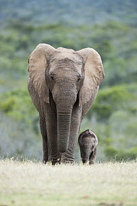 African Elephant (Loxodonta africana) mother and calf, Addo National Park, South Africa  -  Richard Du Toit