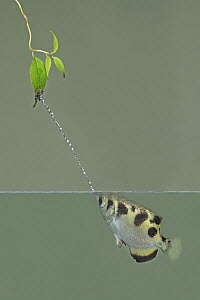 Banded Archerfish (Toxotes jaculator) spitting, native to Asia  -  Steve Gettle