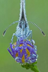 Eastern Tailed-blue (Cupido comyntas) butterfly covered with dew, Huron Meadows Metropark, Michigan  -  Steve Gettle