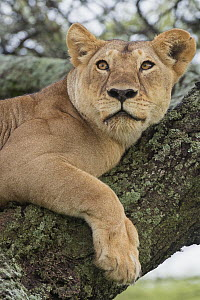 African Lion (Panthera leo) resting in tree, Tanzania  -  Steve Gettle