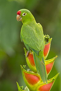 Red-lored Parrot (Amazona autumnalis), Costa Rica  -  Steve Gettle