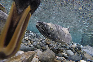 Chum Salmon (Oncorhynchus keta) protecting redds in small stream with duck feeding on eggs, Haines, Alaska  -  Peter Mather