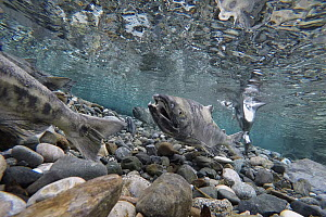 Chum Salmon (Oncorhynchus keta) group protecting redds in small creek, Haines, Alaska  -  Peter Mather
