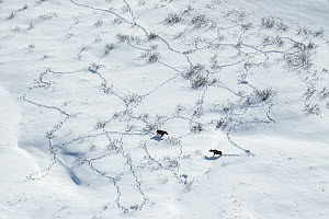 Moose (Alces alces) pair in winter, Alaska  -  Peter Mather