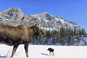 Moose (Alces alces) pair in winter, Brooks Range, Alaska  -  Peter Mather