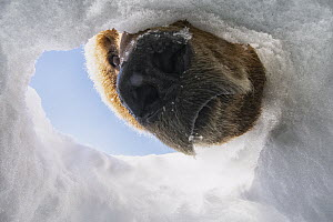 Brown Bear (Ursus arctos) looking into Wolverine (Gulo gulo) caching hole for food, North Slope, Alaska  -  Peter Mather