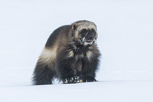 Wolverine (Gulo gulo) in snow, North Slope, Alaska  -  Peter Mather