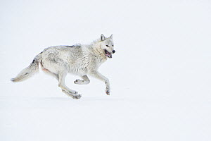 Arctic Wolf (Canis lupus) running in snow, Alaska  -  Peter Mather