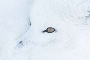 Arctic Fox (Alopex lagopus) curled up in snow, North Slope, Alaska  -  Peter Mather