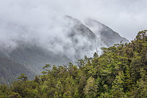 Temperate rainforest and mist, Patagonia, Chile  -  Ingo Arndt