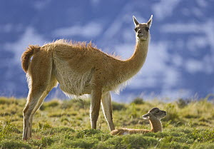 Guanaco (Lama guanicoe) mother and cria, Torres del Paine National Park, Patagonia, Chile  -  Yva Momatiuk & John Eastcott
