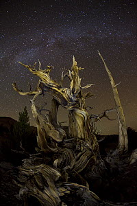 Great Basin Bristlecone Pine (Pinus longaeva) tree at night with milky way, Inyo National Forest, White Mountains, California  -  Yva Momatiuk & John Eastcott