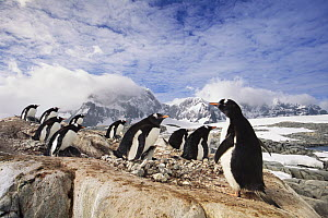 Gentoo Penguin (Pygoscelis papua) rookery on mountains, Port Lockroy, Antarctic Peninsula, Antarctica  -  Yva Momatiuk & John Eastcott