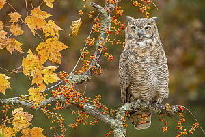Great Horned Owl (Bubo virginianus), native to North America  -  Steve Gettle