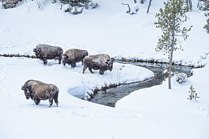 American Bison (Bison bison) group along river in winter, Yellowstone National Park, Wyoming  -  Steve Gettle