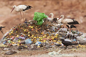 White Stork (Ciconia ciconia) group and Common Raven (Corvus corax) foraging at garbage dump, Morocco  -  Roland Seitre