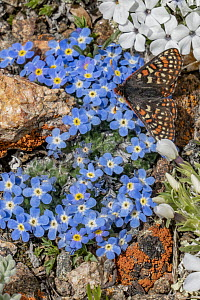 Checkerspot Butterfly (Euphydryas sp), Rocky Mountains, Wyoming  -  Jeff Foott