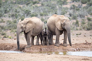 African Elephant (Loxodonta africana) females and calf drinking at waterhole, Addo National Park, South Africa  -  Richard Du Toit
