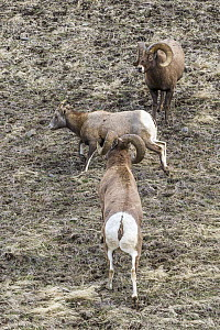Bighorn Sheep (Ovis canadensis) rams and female, Shoshone Canyon, Wyoming  -  Dawn Y. Wilson